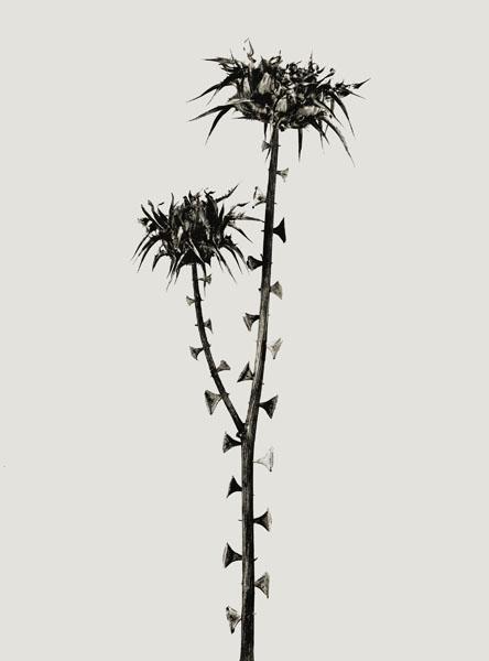 Joan Fontcuberta - Braohypoda frustata (Herbarium) - 1984