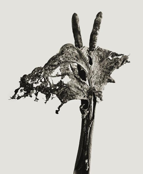 Joan Fontcuberta - Dendrita victoriosa (Herbarium) - 1982
