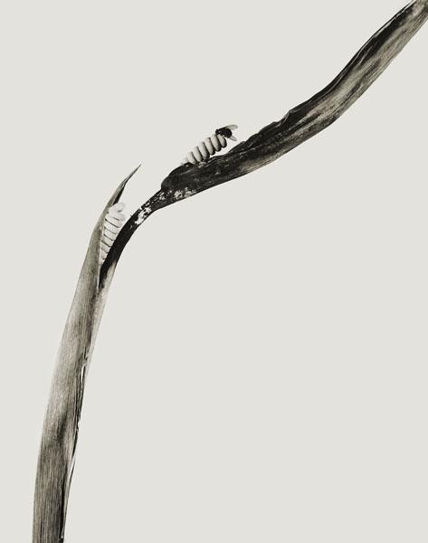 Joan Fontcuberta - Pirulera salbitana (Herbarium) - 1983