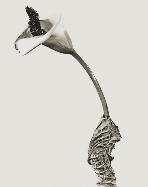 Joan Fontcuberta - Cala rasca (Herbarium) - 1983