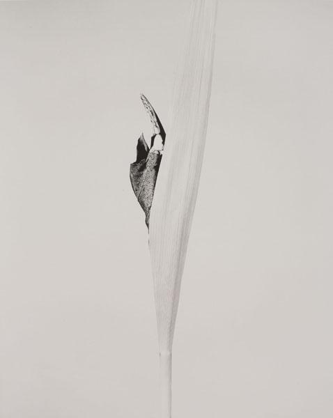 Joan Fontcuberta - Cornus impatiens (Herbarium) - 1984
