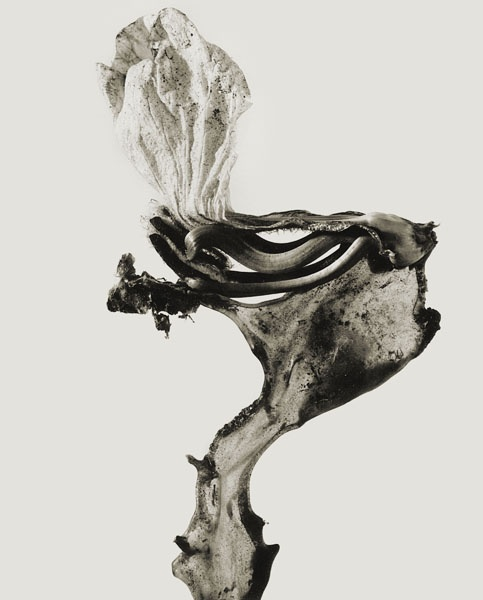 Joan Fontcuberta - Guillumeta polymorpha (Herbarium) - 1982