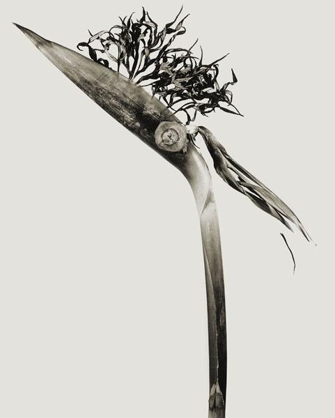 Joan Fontcuberta - Giliandria escoliforcia (Herbarium) - 1984