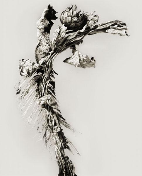 Joan Fontcuberta - Karchofa sardinae (Herbarium) - 1983