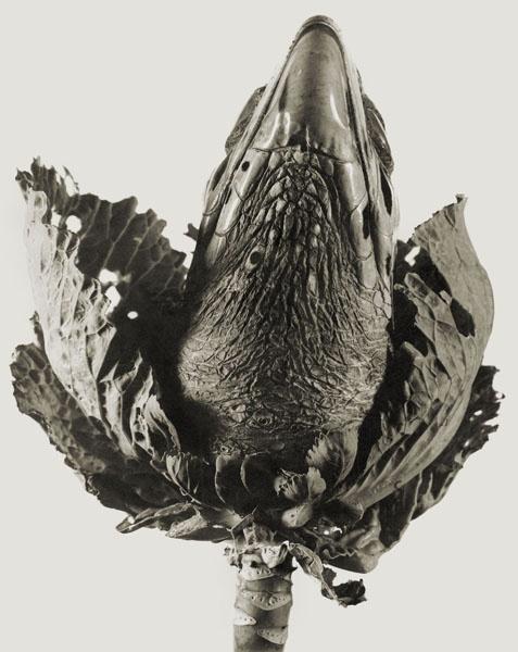Joan Fontcuberta - Lavandula angustifolia (Herbarium) - 1983