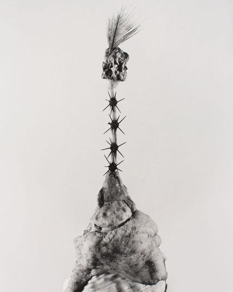 Joan Fontcuberta - Aspegia buphera (Herbarium) - 1985