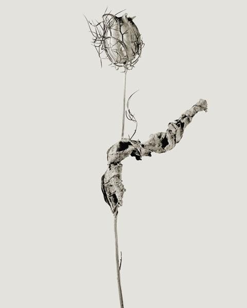 Joan Fontcuberta - Erectus pseudospinosus (Herbarium) - 1982
