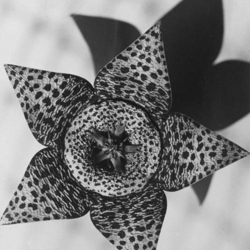 Emili Godes - Cactus estrella - Cap a 1930
