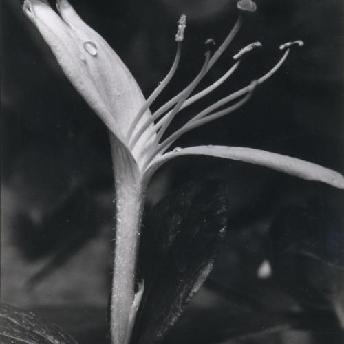 Emili Godes - Honeysuckle flower with dew drop - Circa 1930