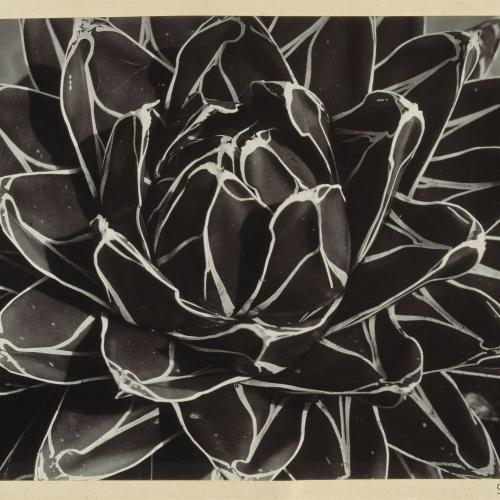 Emili Godes - Cactus - Hacia 1930