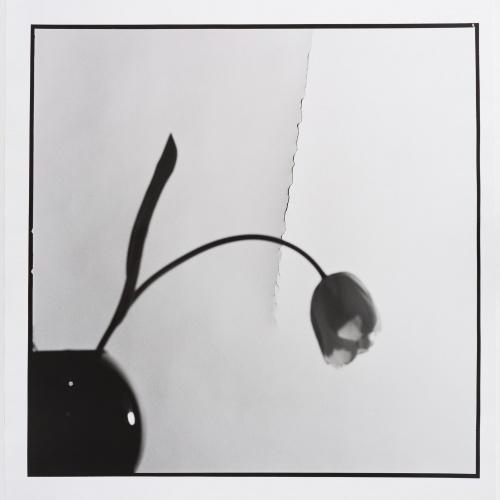 Toni Catany - Tulipa - 1980 (tiratge 2000)