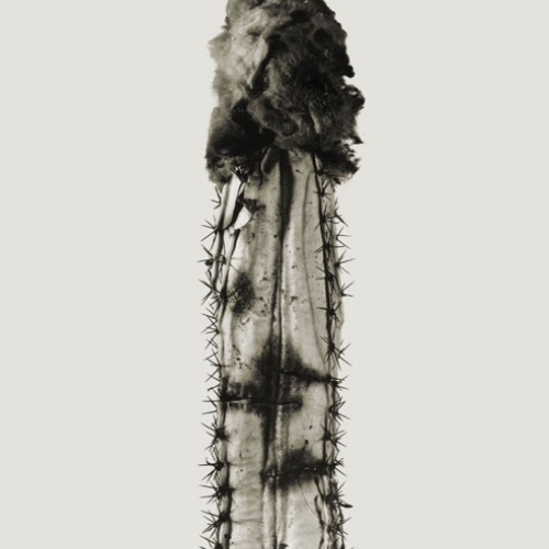 Joan Fontcuberta - Phyllocactus chumba (Herbarium) - 1984