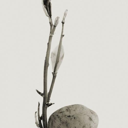Joan Fontcuberta - Typhatata pulcra (Herbarium) - 1982