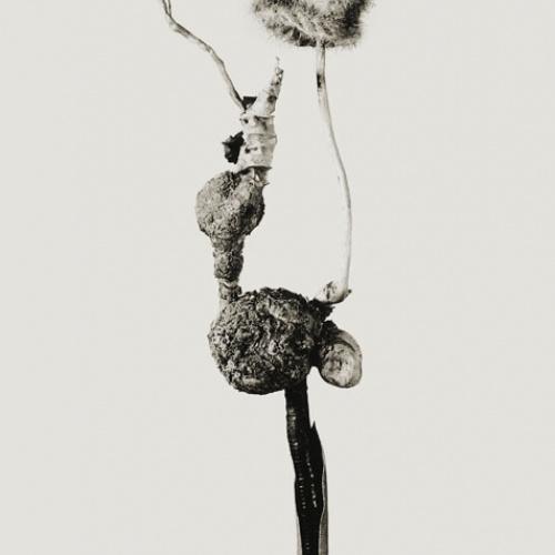 Joan Fontcuberta - Barrufeta godafreda (Herbarium) - 1984