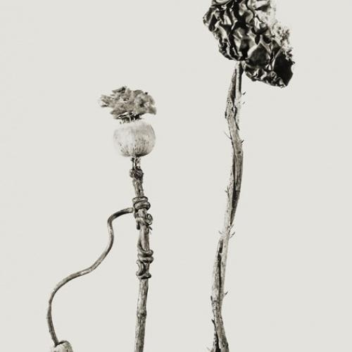 Joan Fontcuberta - Benedictus popus-Nizozemska osrama (Herbarium) - 1983