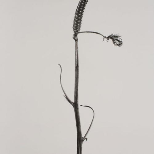 Joan Fontcuberta - Bifilia mastegata (Herbarium) - 1982