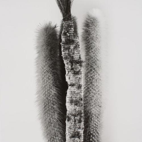 Joan Fontcuberta - Physostegia afeitata (Herbarium) - 1984